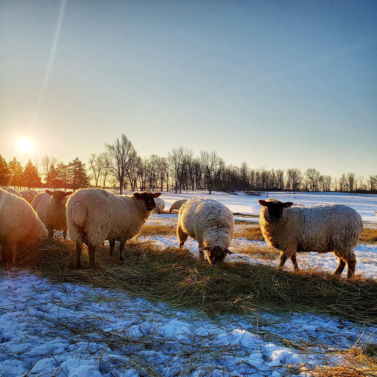 Sheep eating hay on a field in winter