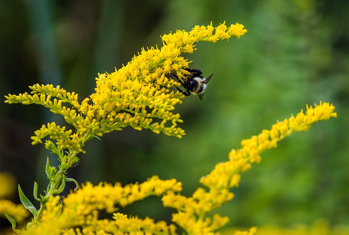 A bee on goldenrod flowers