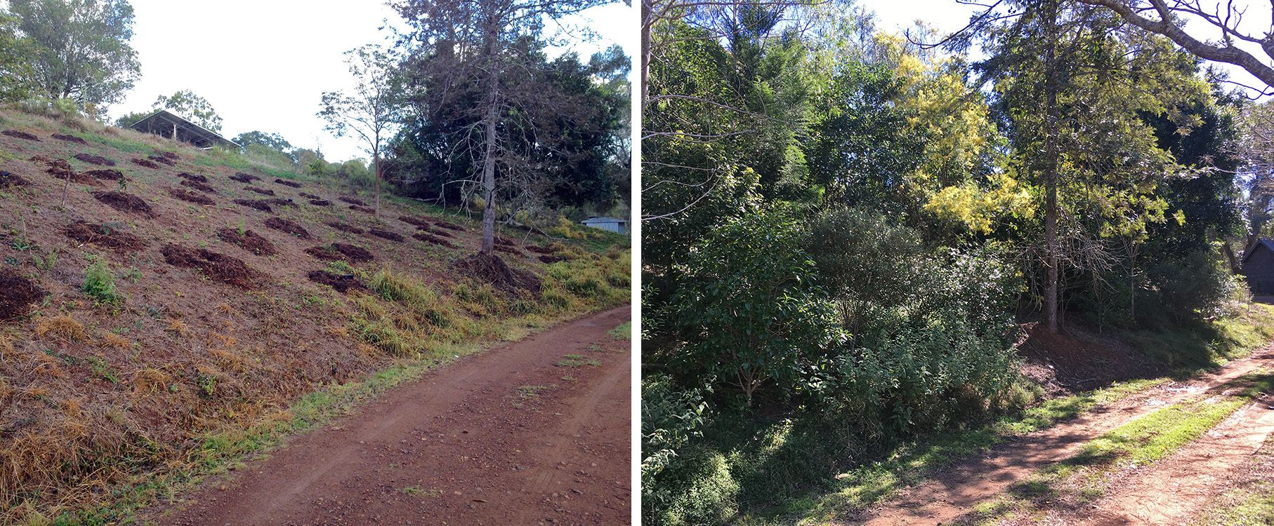 Two photos of a slope along a driveway. On the left, a couple of trees are surrounded by holes dug for planting. On the right, lush trees fill the space.