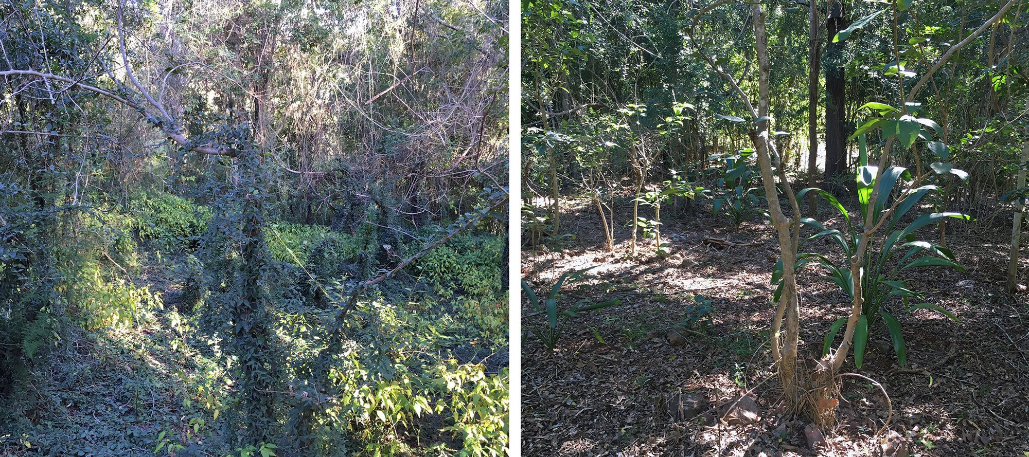 Two photos of the same land before and after restoration. On the left, thick vines are covering bare trees. On the right, leafy trees are surrounded by open ground covered in dried leaves.