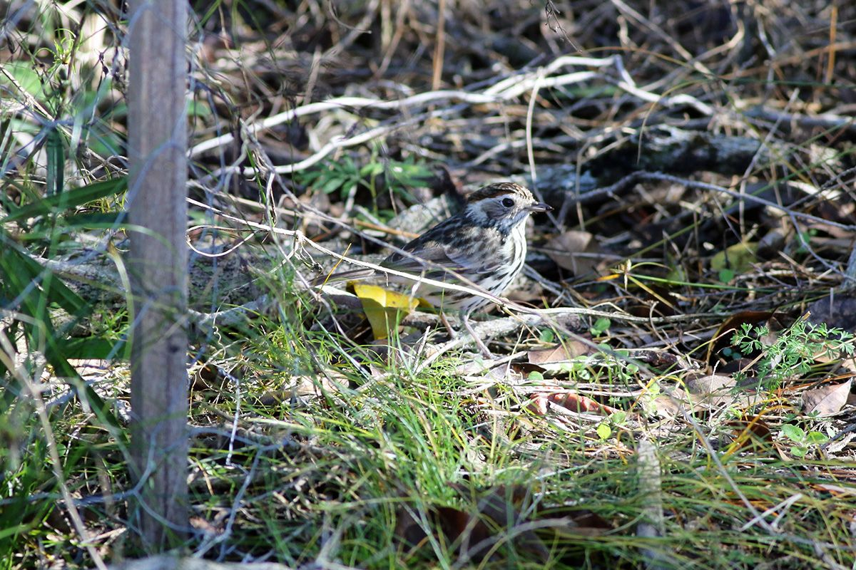 A speckled warbler on the ground amidst green and dried grass and dried leaves.