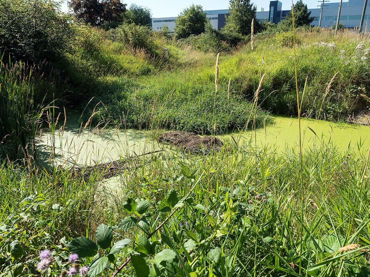 A beaver pond with a dam in the middle, surrounded by greenery with buildings in the background.