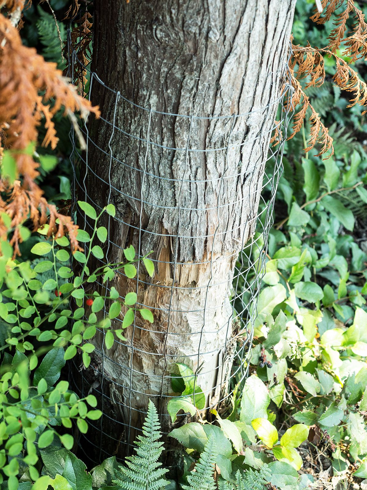 A close-up of a tree trunk wrapped in chicken wire. The trunk has been chewed by a beaver.