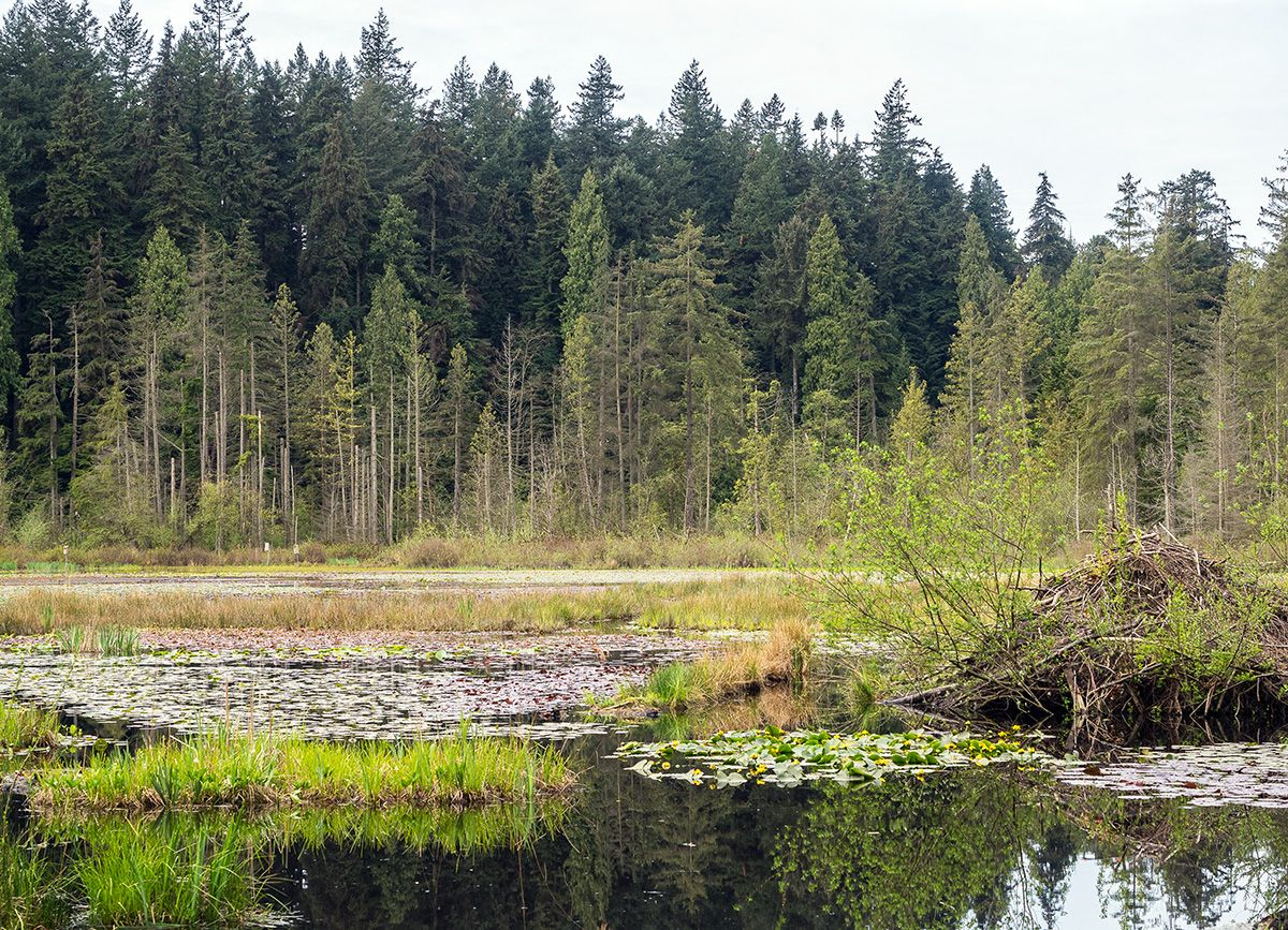 In the background, numerous conifers on a hillside. In the foreground, a lake covered in lily pads with a beaver dam at right.